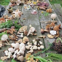 Svampe og urter omkring Middelalderlandsbyen