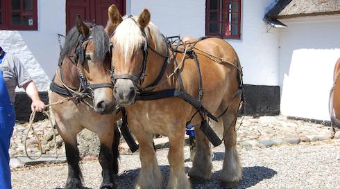 Hestedag & historisk dyrskue